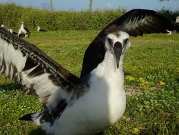 A Laysan Albatross fledgling practices how to take flight.  Photo: Claire Johnson/NOAA
