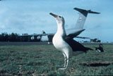 Albatross and plane on Midway.  Photo by USFWS.