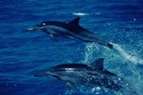 Spinner Dolphins. Photo by Monte Costa.