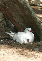 Red-tailed tropicbird with chick on Midway.