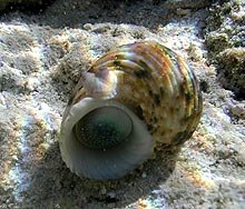 Hawaiian Turban snail.  Photo by Larry Basch, NPS.