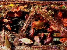Hawaiian squirrelfish and Spotted cardinalfish hiding in a wing of a downed Corsair at Midway Atoll.  Photo by Brian Hauk.