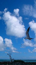 Sooty Tern  in flight at  French Frigate Shoals.  Photo by Stott Kikiloi.