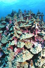 Ancient coral colony. Porites evermanni at Lisianski Island.