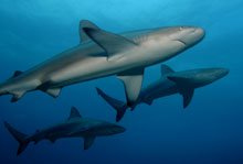 Three Galapagos Sharks at Maro Reef.