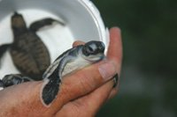 Geen sea turtle rescue.